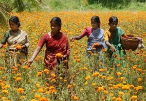Marigold-Flower-Oil