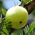 Emblica-Officinalis-Amla
