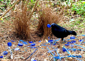 Bower birds: The Love-Impelled Architects