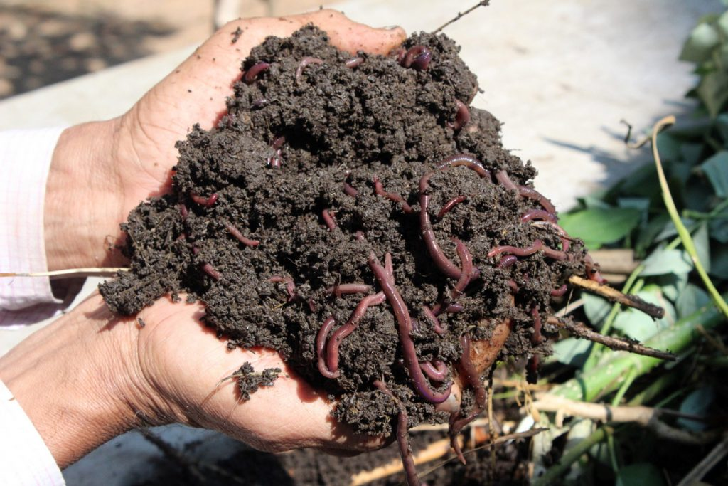 Vermicomposting_worms